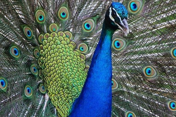Las plumas de colores 1