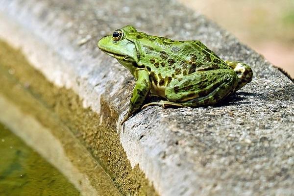 La rana que quería convertirse en buey 1