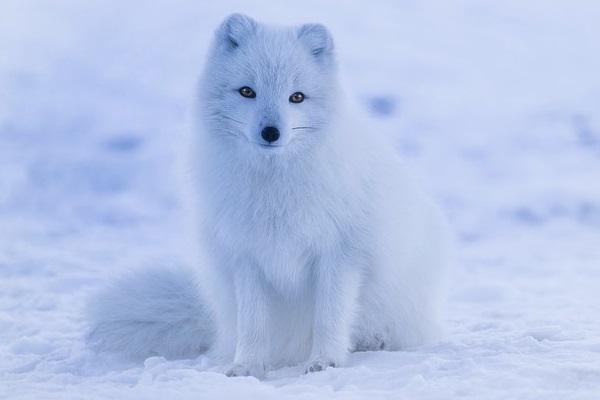El cuento del zorro de la nieve 1