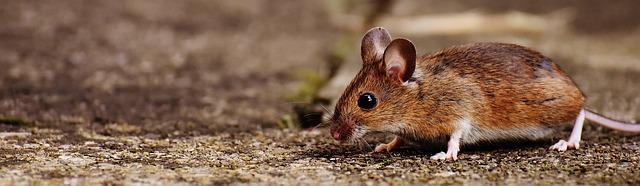 roedor photo