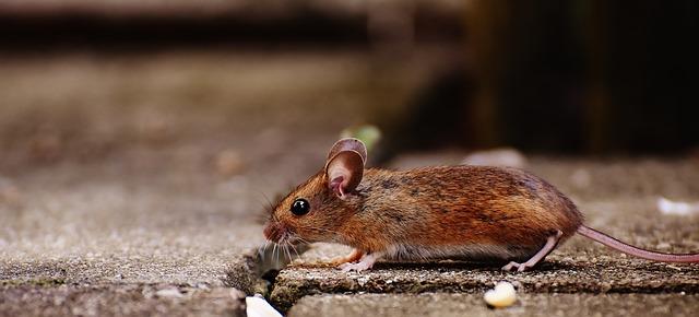 ratón photo