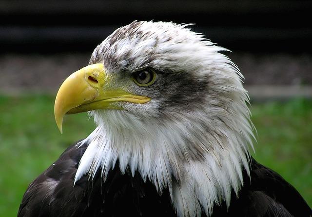 águila photo