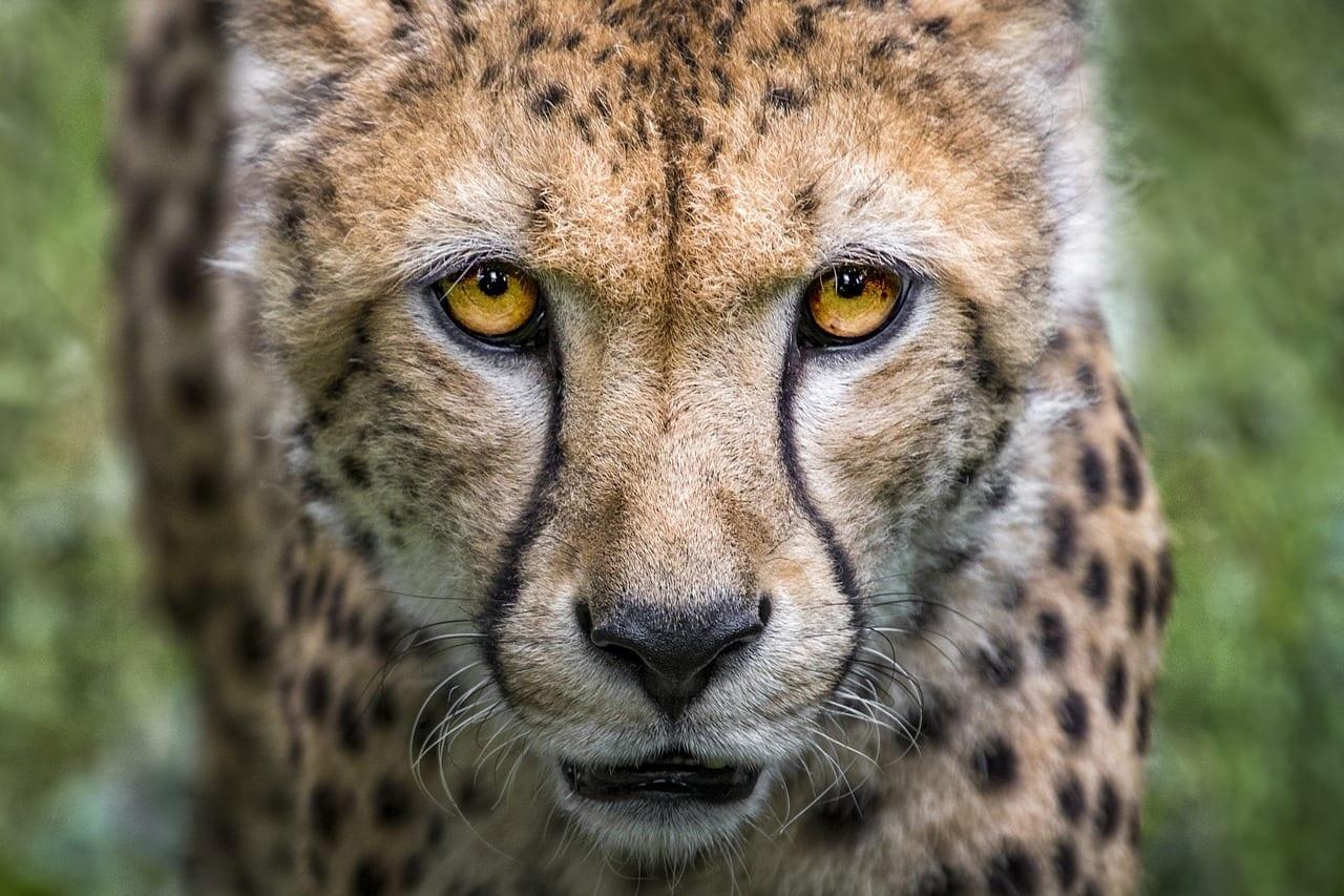 Las manchas del guepardo 17