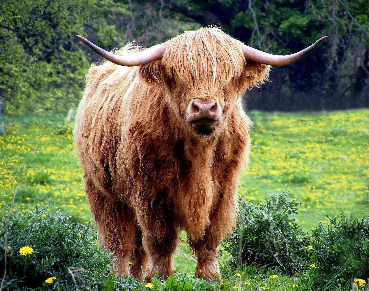 El toro de oro 1