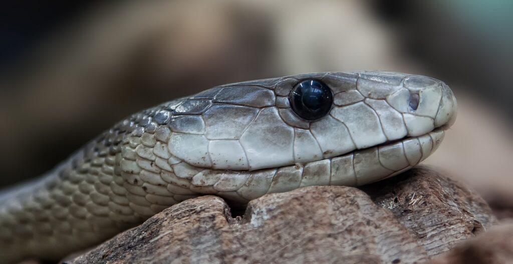 La serpiente y el sacerdote 1